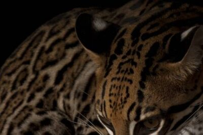 An ocelot (Leopardus pardalis)