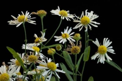 Photo: Federally threatened Decurrent false aster (Boltonia decurrens), at the Missouri Botanical Garden.