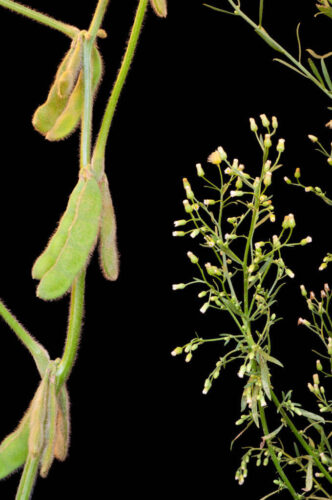 Photo: A soybean plant (Glycine max) faces off against a roundup-resistant horseweed plant at the University of Nebraska's East Campus.