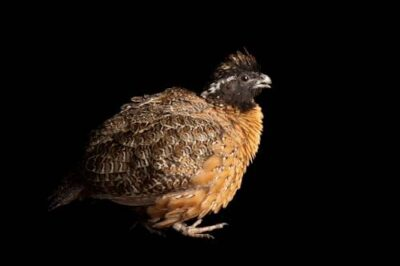 Masked bobwhite quail (Colinus virginianus ridgwayi), an endangered (IUCN) and federally endangered species, at the Phoenix Zoo.