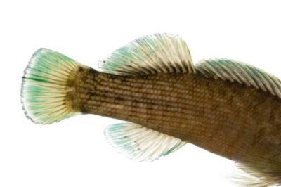 Boulder darter (Etheostoma wapiti), a vulnerable (IUCN) and federally endangered species, at Conservation Fisheries, a native stream fish breeding center. The male is larger and shown on the top.