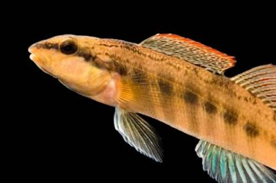 A vulnerable (IUCN) ashy darter (Etheostoma cinereum), a very rare fish species with a shrinking range in TN and VA, at Conservation Fisheries, a native stream fish breeding center. This fish should be listed as endangered but hasn't been due to lack of lack of funding and little survey work to determine just how imperiled it is.