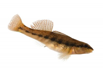 A vulnerable (IUCN) ashy darter (Etheostoma cinereum), a very rare fish species with a shrinking range in TN and VA,, at Conservation Fisheries, a native stream fish breeding center. This fish should be listed as endangered but hasn't been due to lack of lack of funding and little survey work to determine just how imperiled it is.