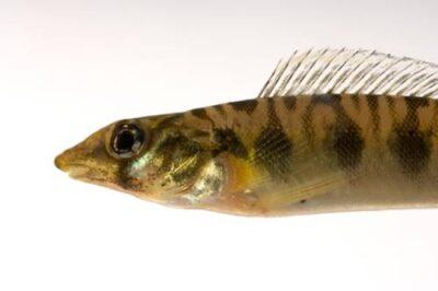 A vulnerable (IUCN) blotchside logperch (Percina burtoni) a very rare fish species at Conservation Fisheries, a native stream fish breeding center.