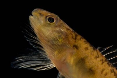 An endangered (IUCN) pearl darter (Percina aurora), at conservation fisheries, a native stream fish breeding center.