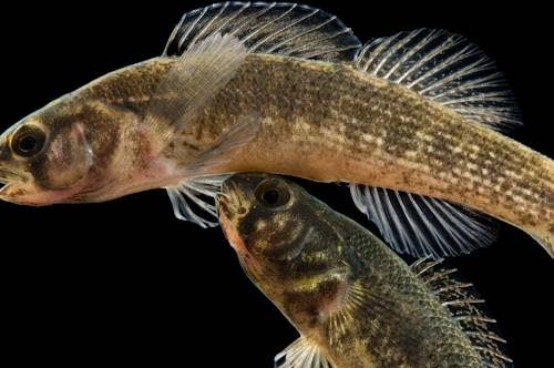 Goldstripe darter (Etheostoma parvipinne) at Conservation Fisheries, a native stream fish breeding center in Knoxville. This fish is not listed. Little is known about it.