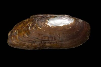 Photo: A federally endangered cracking pearly mussel (Hemistena lata) taken from the Clinch River near Sneedville.