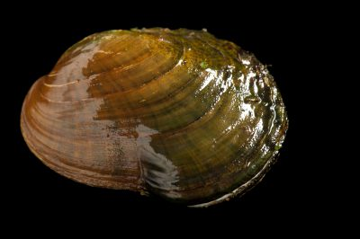 A critically endangered (IUCN) and federally endangered oyster mussel (Epioblasma capsaeformis) displaying its blue-white mantle. These mussels and many others are in danger of extinction due to habitat loss due such as impoundments and pollution. Pollution from coal mining in the Clinch River watershed is of special concern. The fine sedimentation that comes downstream from the mines is thought to impede mussel survival.