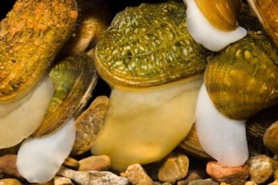 Photo: Endangered mussels extend their feet to move around.