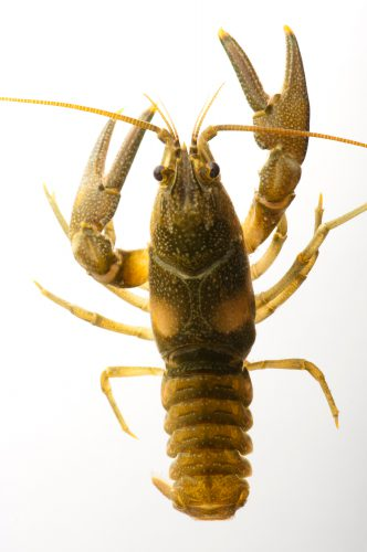 The endangered (IUCN) and federally endangered Nashville crayfish (Orconectes shoupi). This animal has a very limited range, existing only in the Mill Creek watershed which runs from downtown Nashville to its suburbs. Habitat loss has restricted its range even further within Mill Creek, with more construction in recent years.
