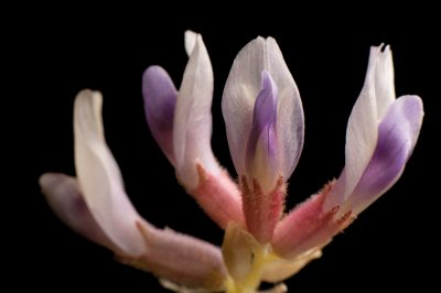 Photo: Pyne's ground plum or Guthrie's ground-plum (Astragalus bibullatus), a federally endangered plant that exists only in a one-mile-square area outside of Nashville within the 'cedar glades' ecosystem.