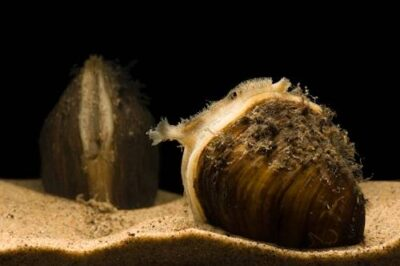 Photo: An endangered Higgins eye pearly mussel (Lampsilis higginsii) at the Genoa National Fish Hatchery, Genoa, Wisconsin.