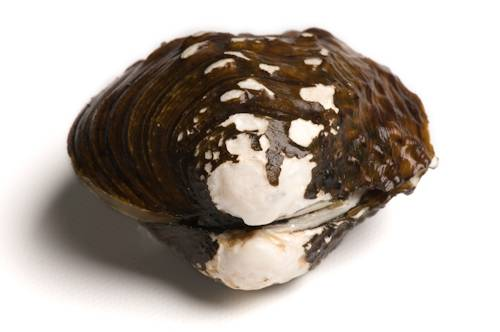 A shell of a dead winged mapleleaf mussel (Quadrula fragosa). The winged mapleleaf is critically endangered (IUCN) and federally endangered. This is one of 44 species of freshwater mussels still found in the upper Mississippi River near Prairie du Chien, WI.