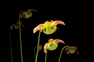 Photo: The flowers of a federally endangered Alabama canebrake pitcher-plant (Sarracenia rubra ssp. alabamensis) droop down at the Atlanta Botanical Garden, where they are propagated.