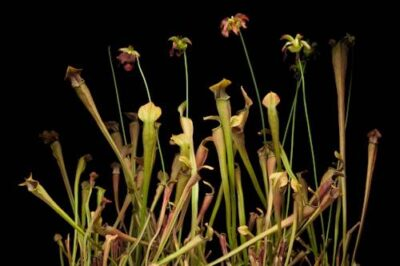 Photo: A federally endangered Jones pitcher plant or mountain pitcher plant (Sarracenia rubra ssp. jonesii) at the Atlanta Botanical Garden, where they are propagated.