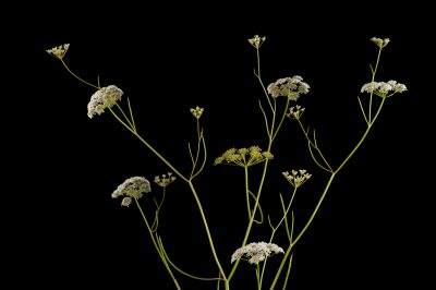 Photo: Harperella (Ptilimnium nodosum) a federally endangered plant that is native to wetlands on the Atlantic and Gulf Coasts.