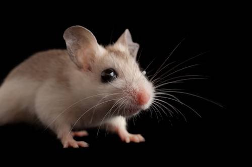 Picture of a Perdido Key beach mouse (Peromyscus polionotus trissyllepsis) a federally-endangered rodent, at the Univ. of South Carolina.