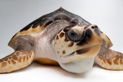 Picture of a vulnerable (IUCN) and federally threatened Atlantic loggerhead turtle (Caretta caretta) at Riverbanks Zoo.