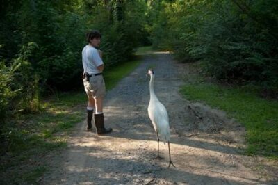 A endangered (IUCN) and federally endangered whooping crane (Grus americana), at the Audubon Center for Research of Endangered Species. This is an educational bird named Sara.