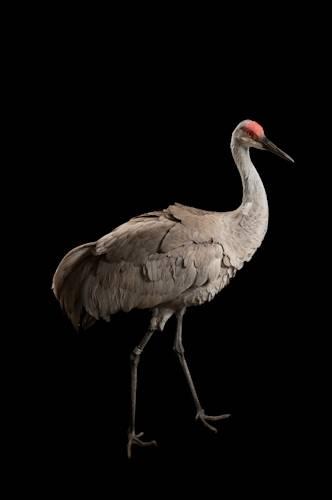 Sandhill Crane National Geographic >> Esa001 00486 Joel Sartore