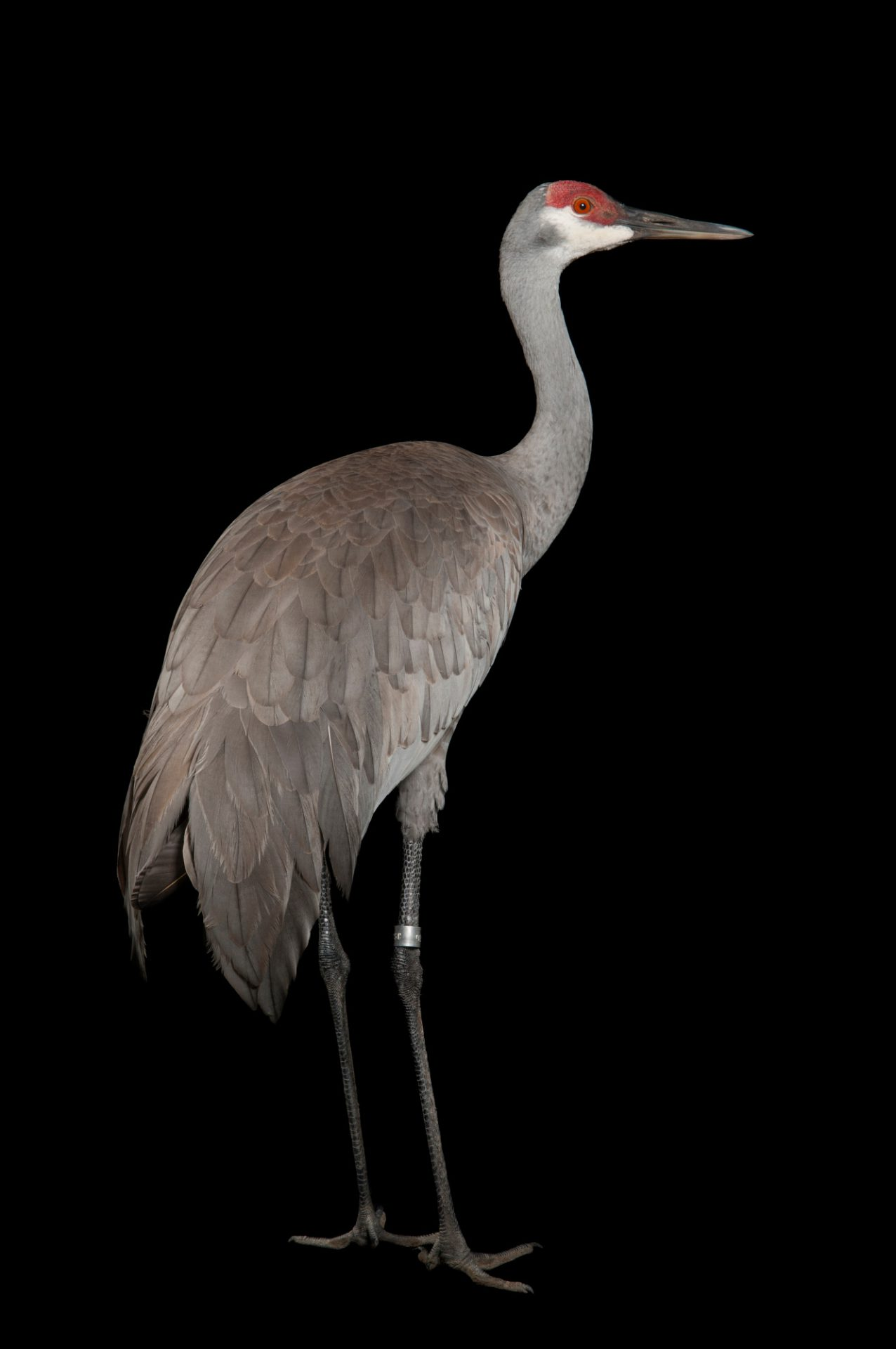 Sandhill Crane National Geographic >> Esa001 00489 Joel Sartore