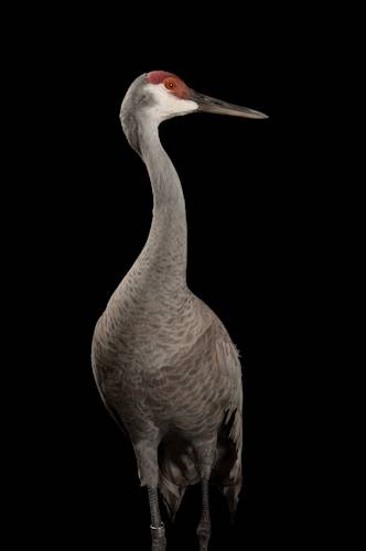 Sandhill Crane National Geographic >> Esa001 00493 Joel Sartore
