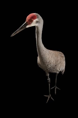 Sandhill Crane National Geographic >> Esa001 00495 Joel Sartore