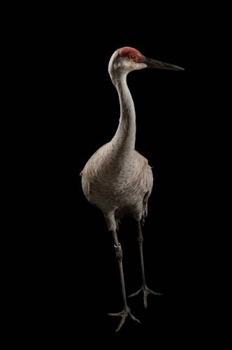 Miss Sandy Hill, a federally endangered Mississippi sandhill crane (Grus canadensis pulla), at the Audubon Center for Research of Endangered Species. Only 110 of this sandhill crane subspecies exists in the wild. Only another 45 birds are in captivity.