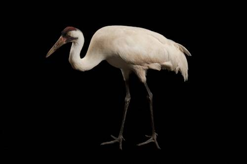 Sara, the endangered (IUCN) and federally endangered whooping crane (Grus americana), at the Audubon Center for Research of Endangered Species. This is an educational bird.