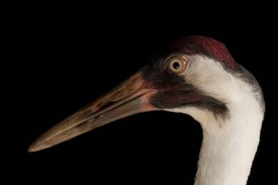 Photo: Sara the whooping crane, at the Audubon Center for Research of Endangered Species.