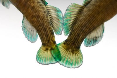 Boulder darter (Etheostoma wapiti), a vulnerable (IUCN) and federally endangered species, at Conservation Fisheries, a native stream fish breeding center.