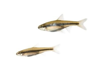 Cape Fear shiner (Notropis mekistocholas) an endangered (IUCN) and federally endangered species at Conservation Fisheries, a native stream fish breeding center.