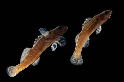 Citico darters (Etheostoma sitikuense) a vulnerable (IUCN) species at Conservation Fisheries, a native stream fish breeding center.