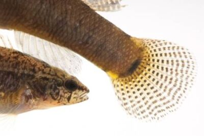 Relict darter (Etheostoma chienense) a federally threatened species at Conservation Fisheries, a native stream fish breeding center. The female is smaller than the male in with her.