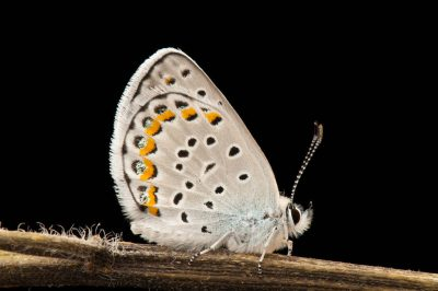 A federally endangered Karner blue butterfly (Lycaeides melissa samuelis) at the Toledo Zoological Gardens.