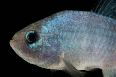 A vulnerable (IUCN) Quitobaquito pupfish (Cyprinodon macularis eremus).