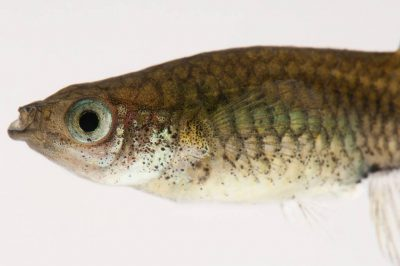 Vulnerable (IUCN) and Federally endangered Gila topminnows (Poeciliopsis occidentalis occidentalis).