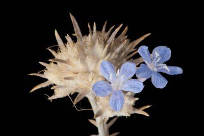 A federally endangered Santa Anna River woolystar (Eriastrum densifolium ssp. sanctorum).