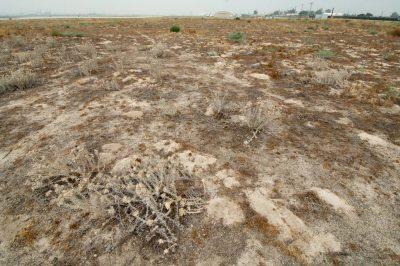 The habitat of the federally endangered Santa Anna River woolystar (Eriastrum densifolium ssp. sanctorum).