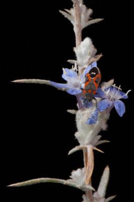 A federally endangered Santa Anna River wooly-star (Eriastrum densifolium ssp. sanctorum) with a small milkweed bug (Lygaeus kalmii).