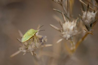 A green stink bug, also known as a green shield bug, (Nezara viridula virgifera) rests on a federally endangered Santa Anna River woolystar (Eriastrum densifolium ssp. sanctorum).