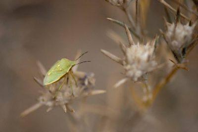 A green stink bug, also known as a green shield bug, (Nezara viridula virgifera) rests on a federally endangered Santa Anna River woolystar (Eriastrum densifolium ssp. sanctorum).