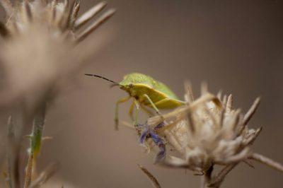 A green stink bug, also known as a green shield bug, (Nezara viridula virgifera ) rests on a federally endangered Santa Anna River woolystar (Eriastrum densifolium ssp. sanctorum).