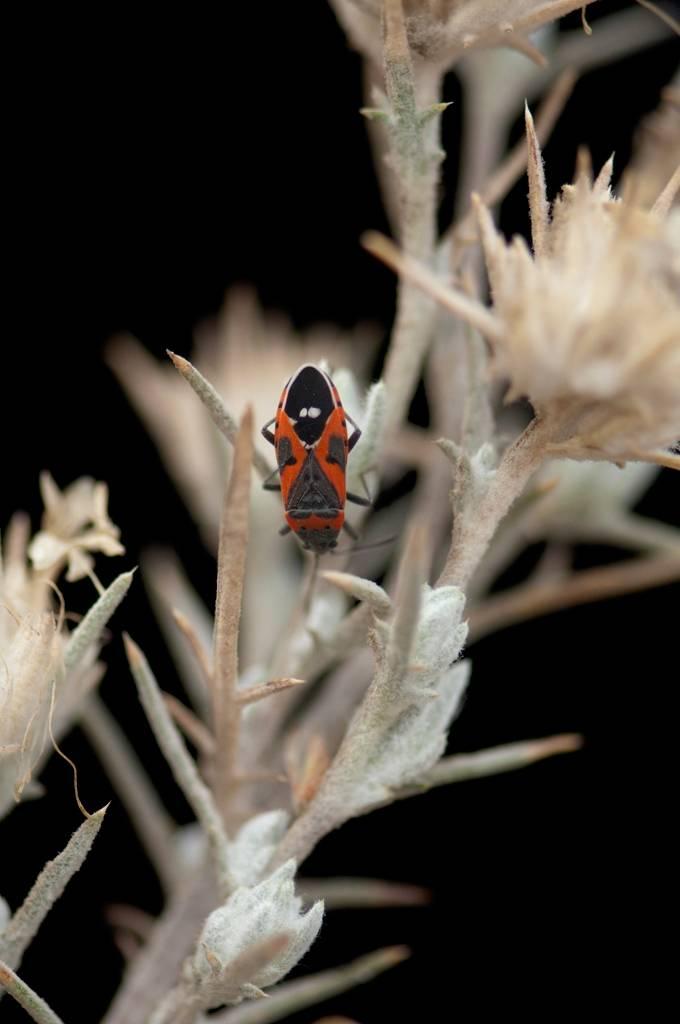 A small milkweed bug (Lygaeus kalmii) crawls on a federally endangered Santa Anna River woolystar (Eriastrum densifolium ssp. sanctorum).