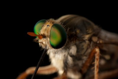 Photo: A federally endangered Delhi Sands flower-loving fly (Rhaphiomidas terminatus abdominalis). With fewer than 1,000 individuals left, this is the only fly to be federally listed.