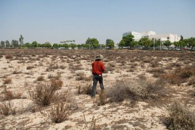 Photo: An entomologist carefully walks through the habitat of the federally endangered Delhi Sands flower-loving fly (Rhaphiomidas terminatus abdominalis). With fewer than 1,000 individuals left, this is the only fly to be federally listed.