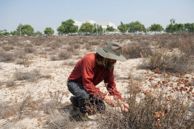 An entomologist searches for a federally endangered Delhi Sands flower-loving fly (Rhaphiomidas terminatus abdominalis). With fewer than 1,000 individuals left, this is the only fly to be federally listed.
