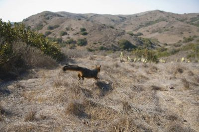 A critically endangered (IUCN) and federally endangered Santa Catalina Island fox (Urocyon littoralis catalinae). The foxes were trapped for an island-wide population estimate, as well as for vaccinations and various studies.