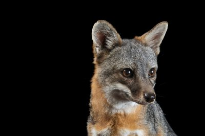 A critically endangered (IUCN) and federally endangered Santa Catalina Island fox (Urocyon littoralis catalinae) named Tachi. Tachi is a hand raised, educational animal, and is the last captive from a breeding program designed to save the species.