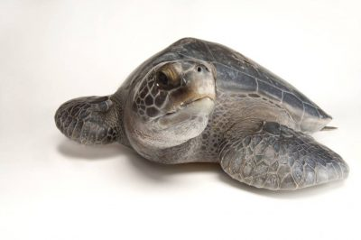An endangered (IUCN) and federally endangered Eastern Pacific green sea turtle (Chelonia mydas).